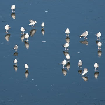 Чайки на льду
