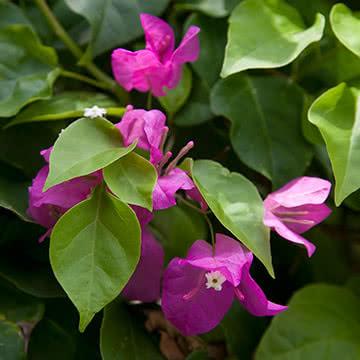 Цветы острова Бали